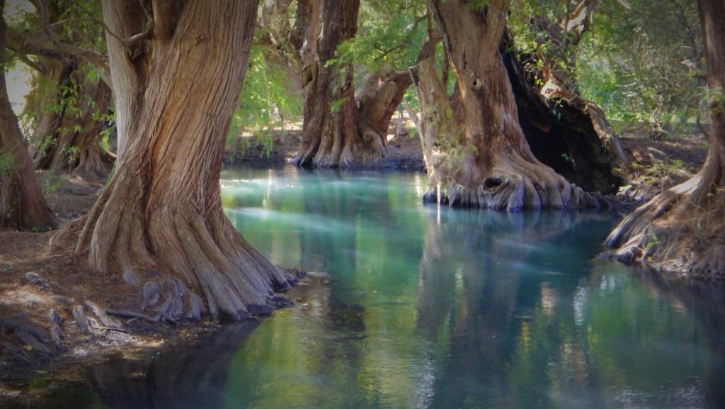 Tysiącletnie drzewa na jeziorze Camecuaro w Meksyku